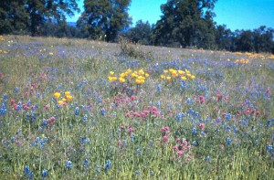 Wildflowers near Hooker Oak, ca. 1940 Photo by Vesta Holt.
